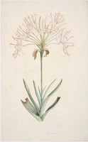 Swamp lily, 1788-91
