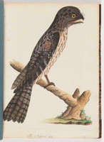 Tawny frogmouth, 1790s