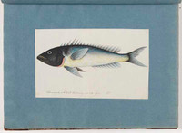 Unidentified fish, 1790s a5206016