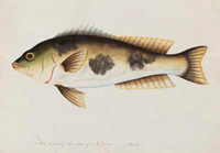 Unidentified fish, 1790s a5206017b