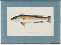 Unidentified fish, 1790s a5206019