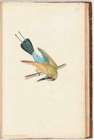 Variegated bee-eater, 1790s a5304031