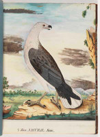 White-breasted sea eagle, 1790s