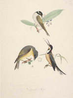 White-naped honeyeater, eastern spinebill and Yellow robin, 1790s
