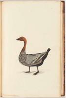 Wood drake, c.1797