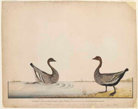 Wood duck and drake, 1790s