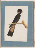 Yellow-tailed black cockatoo, 1790s