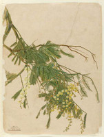 Acacia, 1805