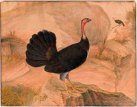 Australian brush turkey (Alectura lathami), 1809