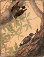 Australian nuthatch (varied sittella - Daphoenositta chrysoptera), 1808