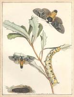 Banksia beauty (banksia moth - Psalidostetha banksiae), 1803