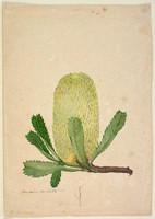 Banksia serrata, c.1806