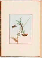 Bombyx tristis (Epicoma tristis), 1805