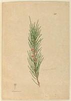 Casuarina stricta (Allocasuarina verticillata), c.1806