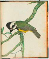 Crested shrike (crested shrike-tit - Falcunculus frontatus), 1813