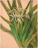 Crinum peduculatum (swamp lily), 1808