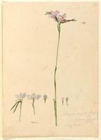 Diuris elongata (purple donkey orchid - Diuris punctata), c.1806