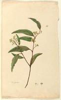 Eucalyptus, c.1806