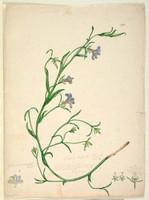 Goodenia ramosissima (purple fan flower - Scaevola ramisissima), c.1806