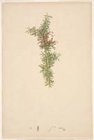 Grevillea (juniper-leaf grevillea - Grevillea juniperina), c.1809