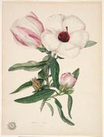 Hibiscus (native rosella - Hibiscus heterophyllus), 1802