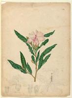 Hibiscus/heterophyllus (pink hibiscus - Hibiscus splendens), c.1806