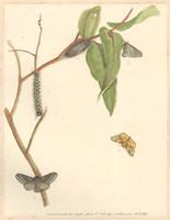 Hook Tip - Bombyx Lewinae (Lewin's bag shelter moth - Panacela lewinae), 1803