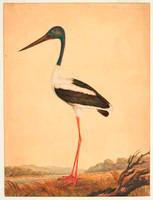 Jabiru (black-necked stork - Ephippiorhynchus asiaticus), c.1818