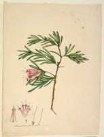 Lambertia formosa (mountain devil), c.1806