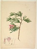 Lambertia formosa (mountain devil), c.1806