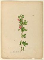 Malva capensis (cape mallow - Anisodontea capensis) c.1806