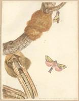 Oak beauty (common splendid ghost moth - Aenetus ligniveren), 1803