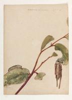 Oiketicus Lewenii (fagot case moth - Clania ignoblis), 1803