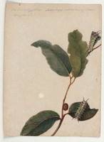 On Eucalyptus Bobyx vulnerans (four spotted cup moth - Doratifera quadriguttata), 1803