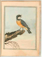 Orange breasted thrush (rufous whistler - Pachycephala rufiventris), c.1804