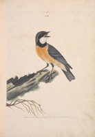 Orange breasted thrush (rufous whistler - Pachycephala rufiventris), c.1808