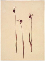 Orchid (flying duck orchid - Caleana major), c.1809