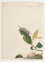 Orgyier Ocks (painted apple moth - Orgyia anartoides), 1803
