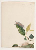Orgyier Ocks (painted apple moth - Orgyia anartoides), 1803