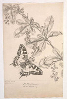 Papilio Machaon on the Barberry (swallowtail), 1803