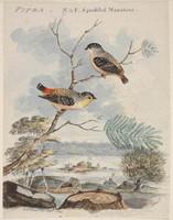 Pipra, 1806