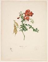 Red pea (smooth Darling pea? - Swainsonia galegifolia), 1802