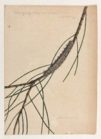 Rhinopsyche on casuarina (she-oak moth - Pernattia pusilla), 1803