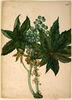 Ricinus (castor oil plant - Ricinus communis), c.1806