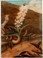 Rock lily of NSW (Dendrobium speciosum), 1822