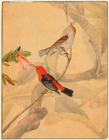 Scarlet and black honeysucker (scarlet honeyeater - Myzomela sanguinolenta), 1810