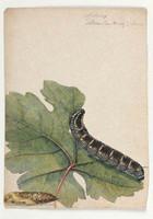 Sphinx oldenlandiae, 1803