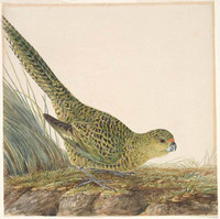 The ground parrot of New South Wales (eastern ground parrot - Pezoporus wallicus), c.1809