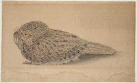 The night hawk (tawny frogmouth - Podargus strigoides), 1807