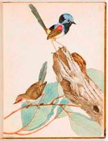 Variegated warbler (variegated fairy wren - Malurus lamberti), 1813 a2771013